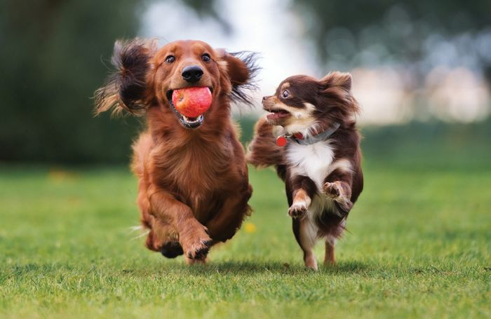 Small-dogs–playing